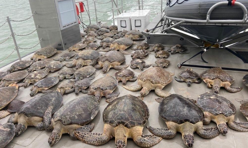 rescued sea turtles