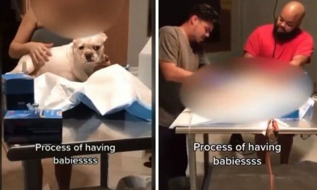 SIGN: Justice for Pregnant Frenchie Cut Open by Fake Vet on TikTok