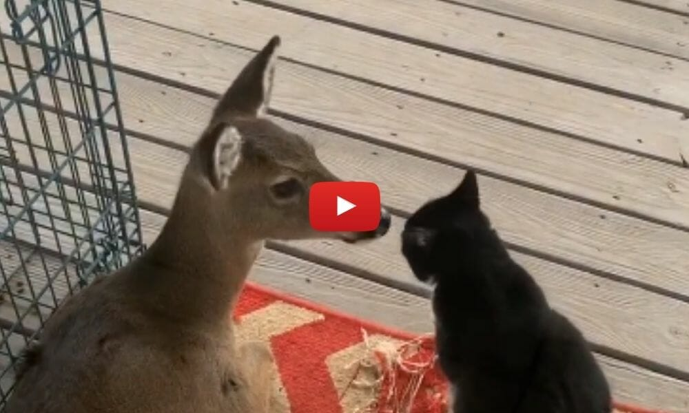 deer and cat