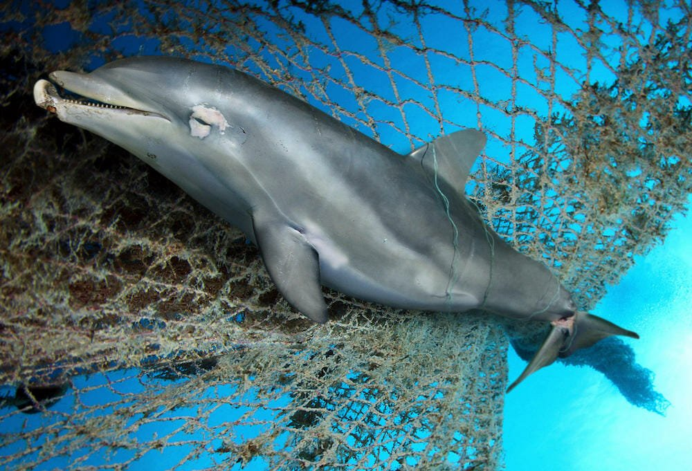 dolphin caught in net