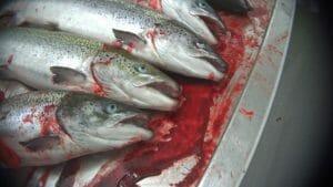 Salmon with gills slit