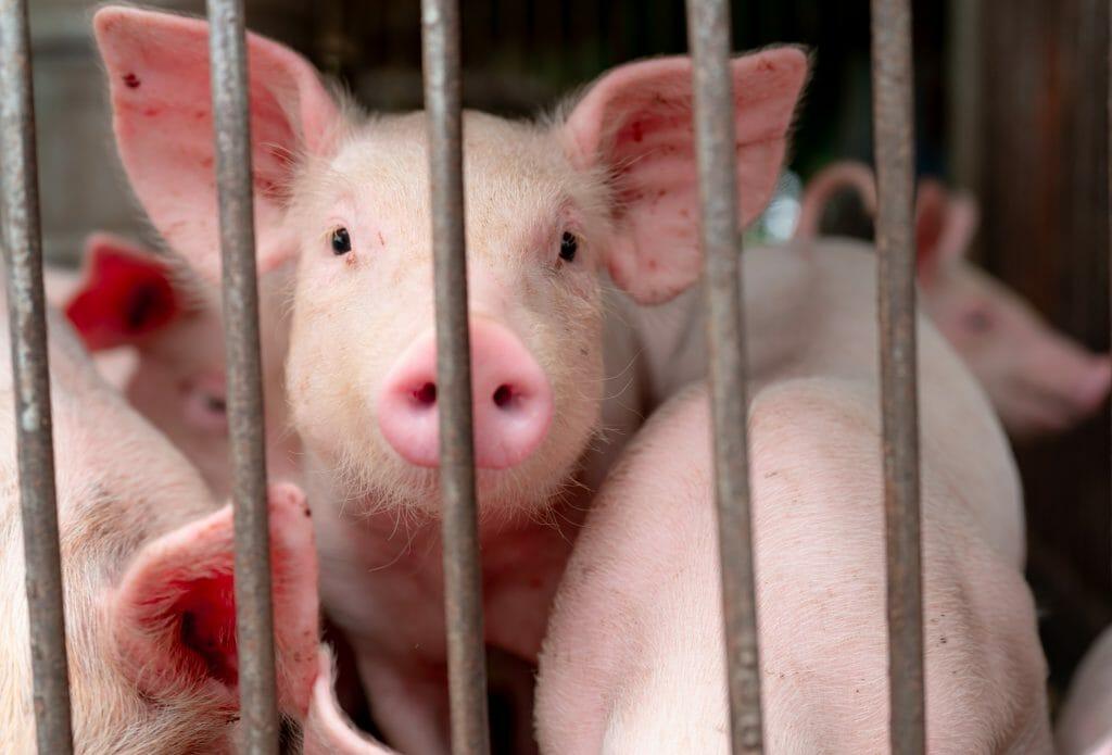 factory farm piglets