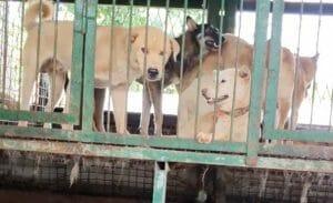 dog meat auction house paju