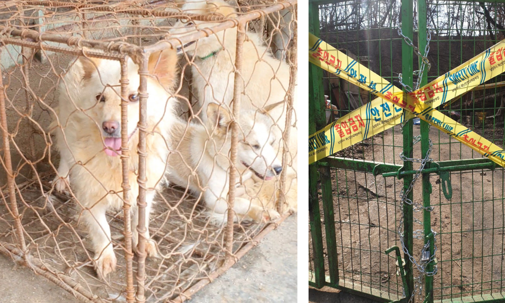 VICTORY! S. Korea's Largest Dog Meat Auction CLOSED Following LFT Investigation