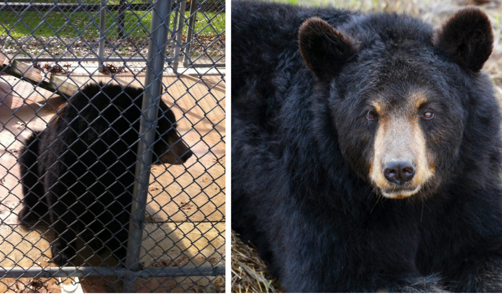 Captive Bears at Atrocious Roadside Zoos Suffer Severely, Research Shows