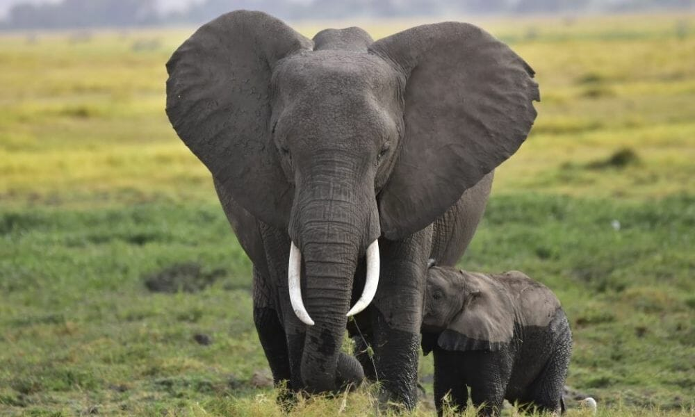 Ugandan Farmers Create Ingenious, Harmless Repellent to Save Crops and Elephants
