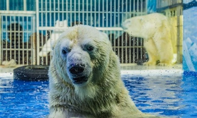 SIGN: Justice for Polar Bears Imprisoned in Cruel New Theme Park