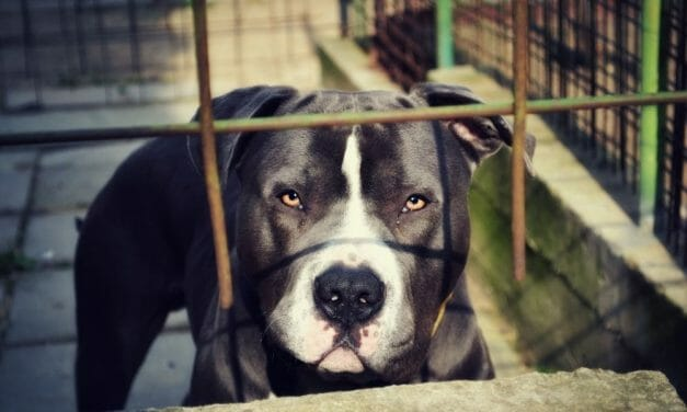 SIGN: Pass the HEART Act to Get Dogfighting Victims in Forever Homes Faster
