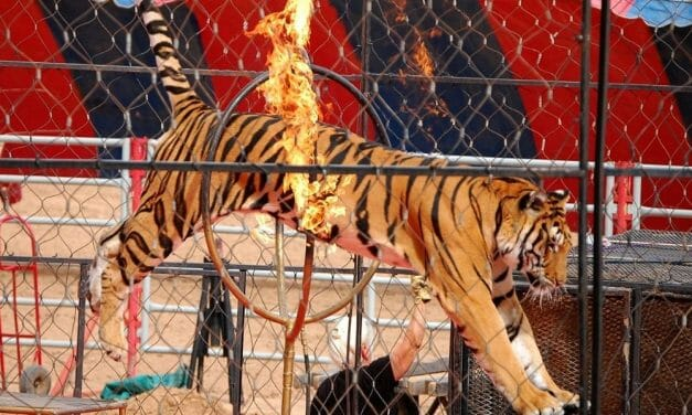 SIGN: End Tiger Torture for Profit in Colorado Circuses