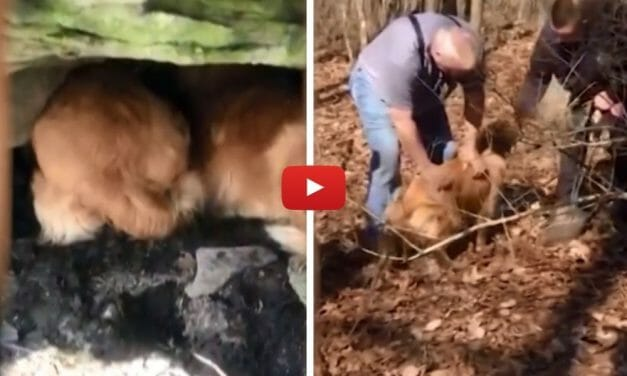VIDEO: Mama Golden Retriever Helps Rescuers Free Her Puppy Trapped For 20 Hours In A Cave
