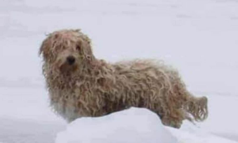 Dog Stranded For 4 Days on Icy River Gets Adopted by Rescuer
