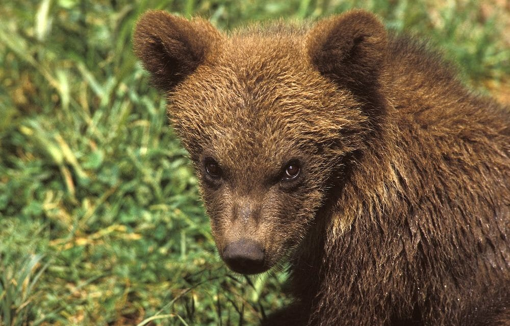 SIGN: Justice for Mother Bear Shot by Poachers, Leaving Baby to Die