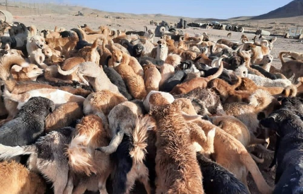 Volunteers Working To Feed More Than 2,000 Dogs Abandoned At Shelter in Iran