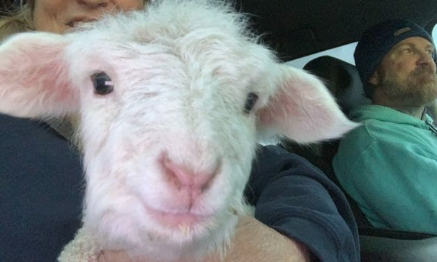 AWARDEE SPOTLIGHT: Wildfire Evacuations, 50+ Baby Lambs, Special Needs Kids All In A Year For Sunset Farms Sanctuary