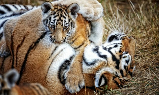 SIGN: Justice for Tiger Poisoned to Death, Leaving Two Orphaned Cubs