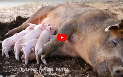 mother pig nursing piglets