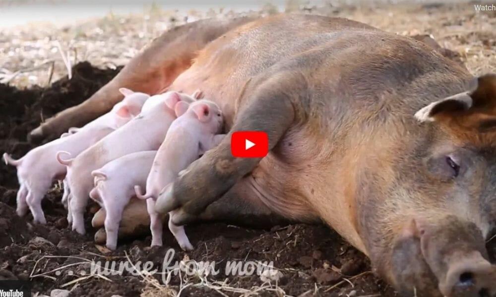 mother pig nursing piglets