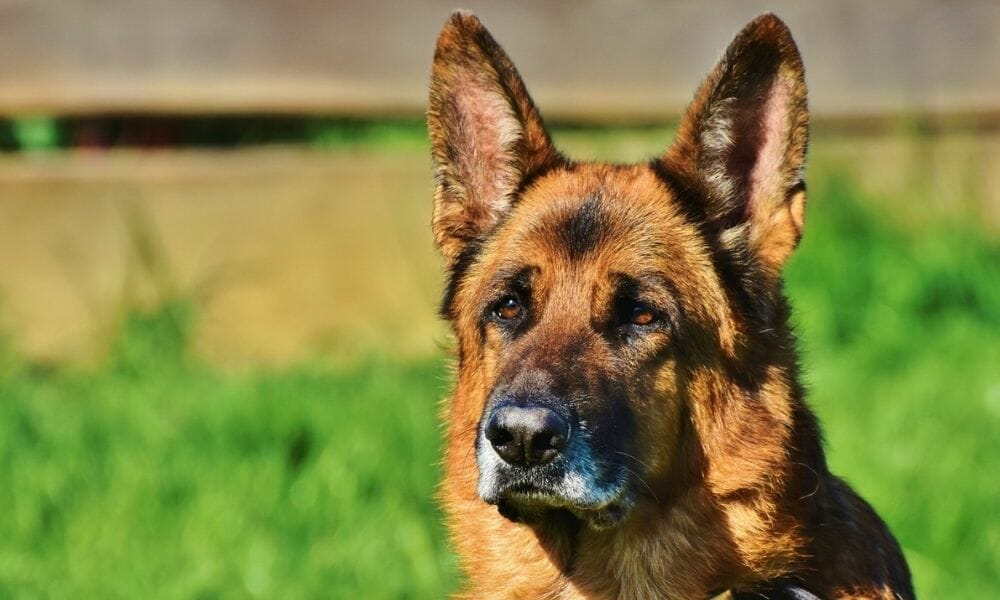 Poland Could Soon Provide Benefits to Retired Service Animals