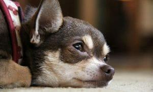 sad chihuahua