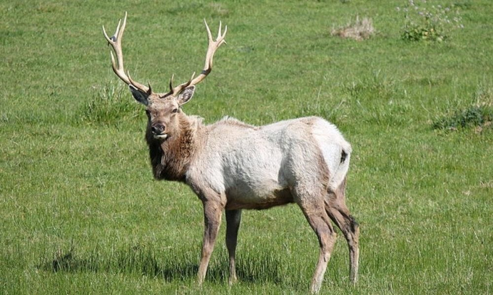 Stop Slaughter of Rare Tule Elk To Make More Room For Cattle Ranchers