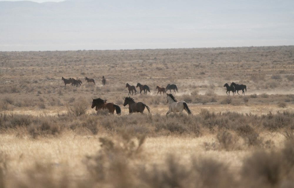 UPDATE: Utah's Wild Horses Saved From Brutal and Dangerous Surgical Sterilizations