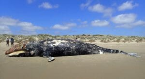 dead gray whale on beach