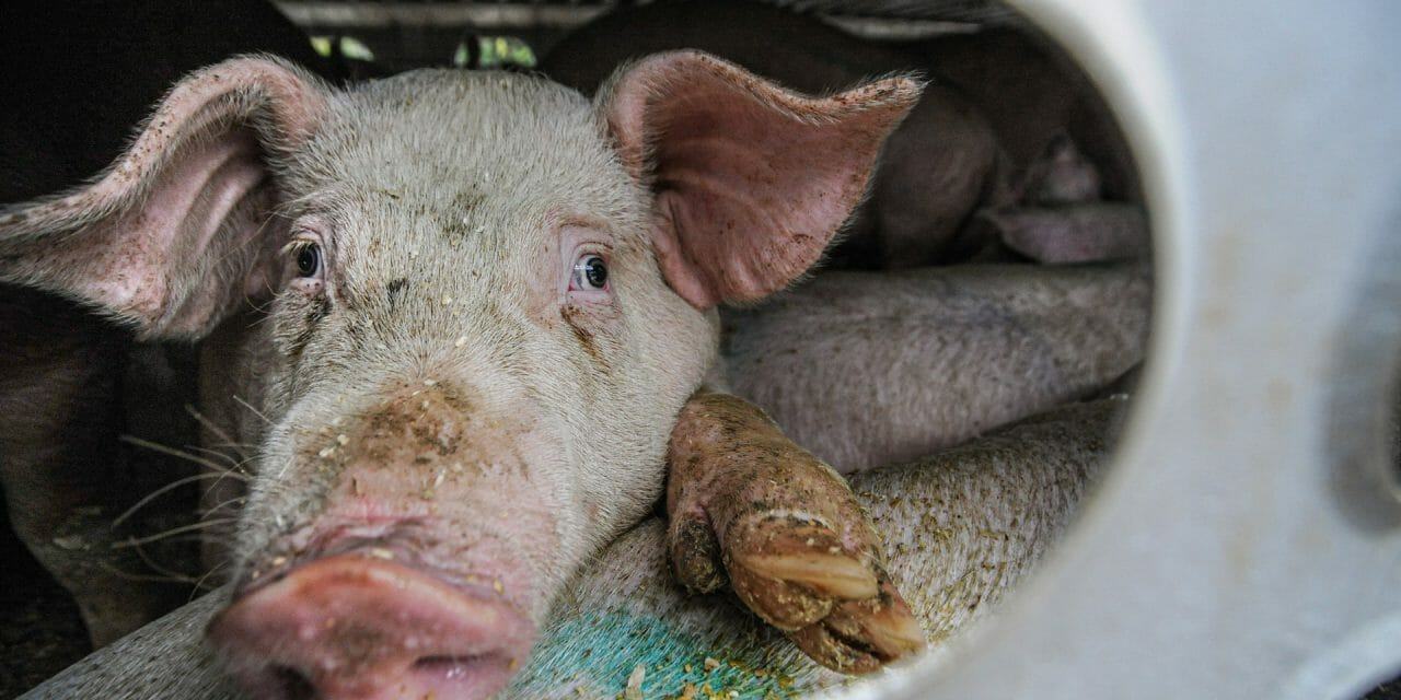 World Health Organization Calls to Ban Live Wild Mammals at Food Markets