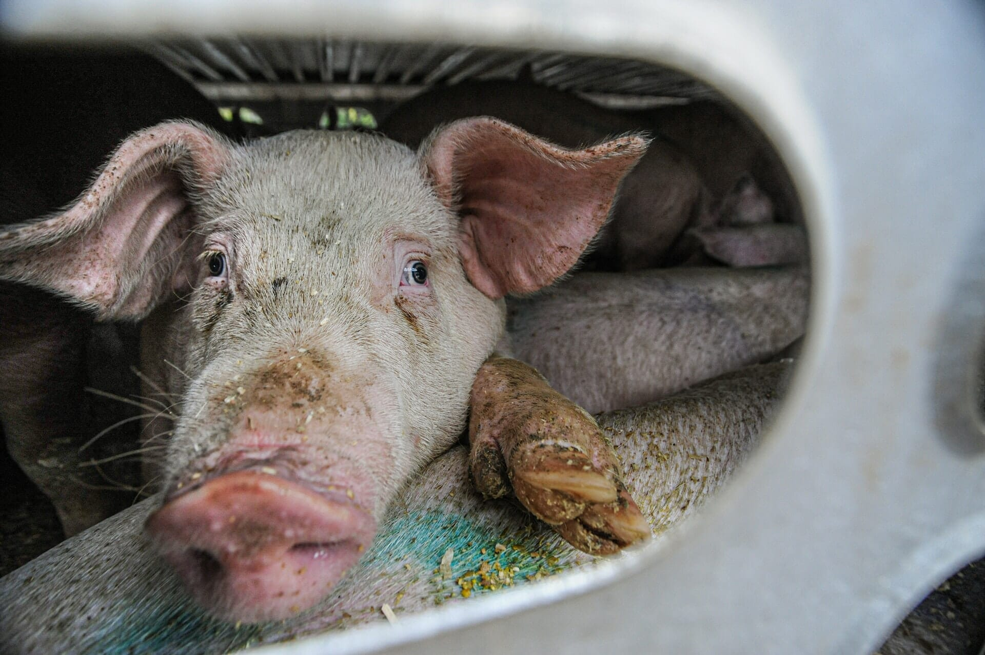 A sad pig in a crowded livestock carrier