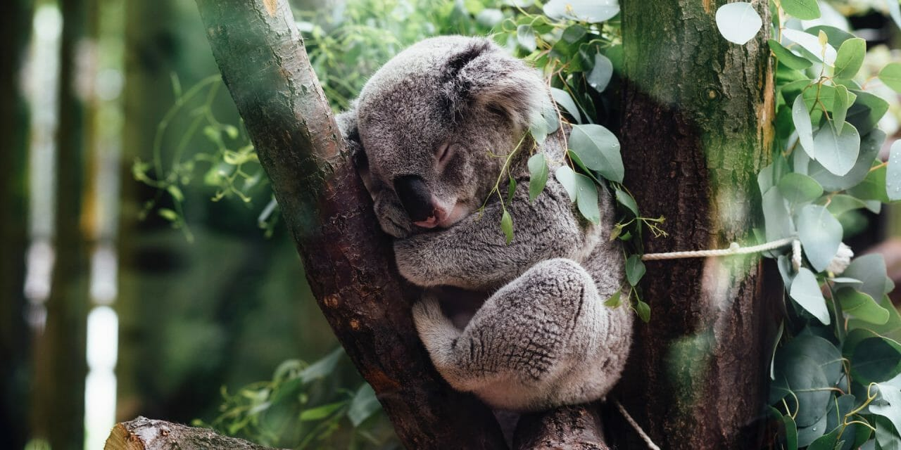 Saving  'Species Arks' Could Help Save Koalas Stranded By Australia's Devastating Bushfires