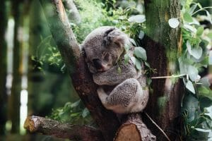 Koala sleeps in a tree