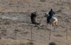 Utah wild horse roundup