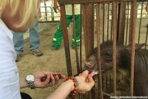 Caged captive bear