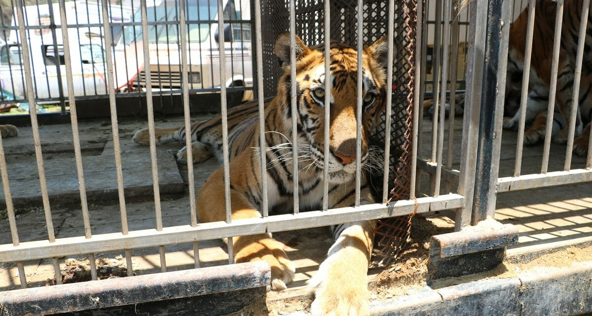 Day of Action May 19: Speak Up For Wild Animals Trapped In Traveling Circuses