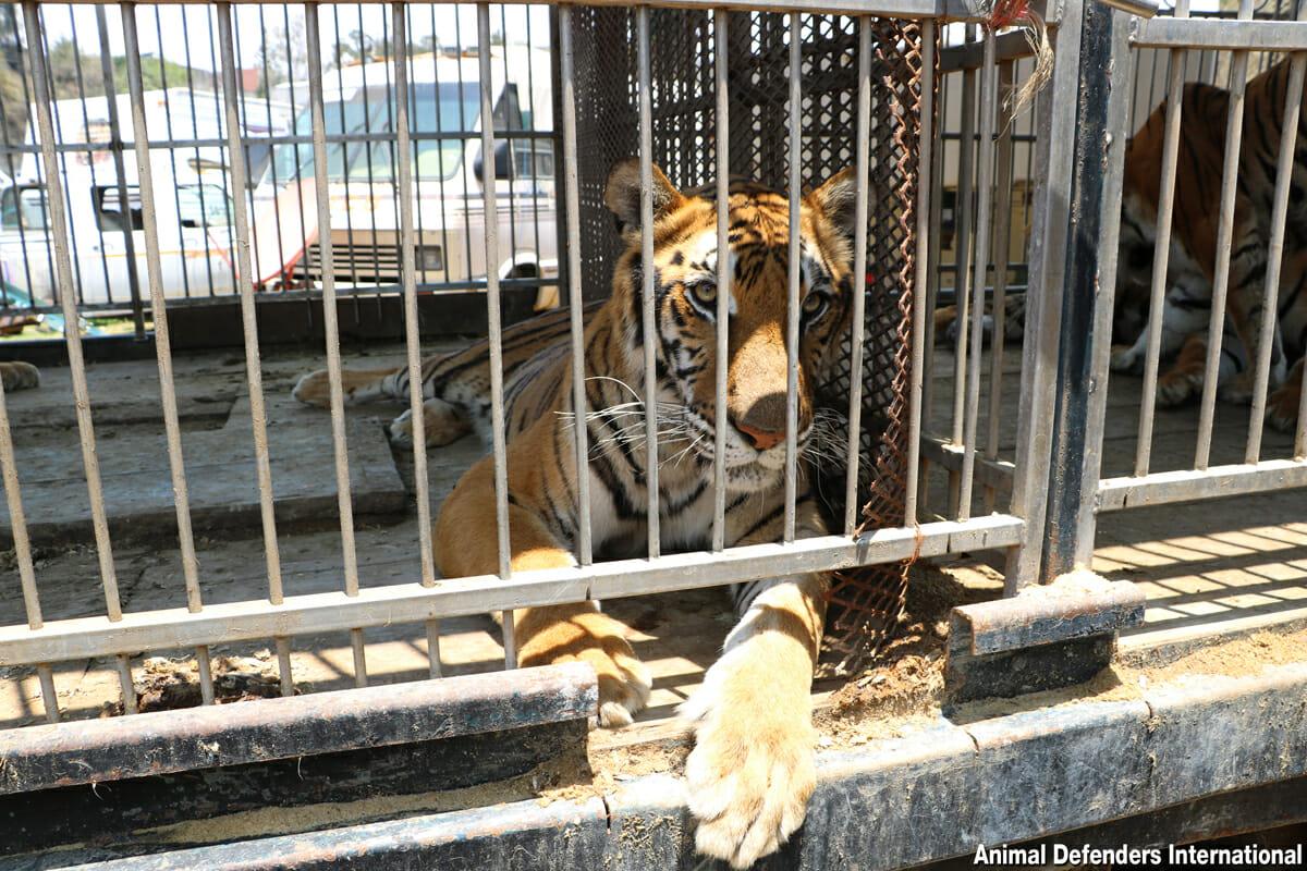 Caged circus tiger