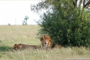 Rescued lions