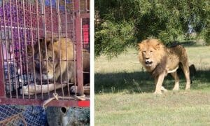 ADI lion caged and free