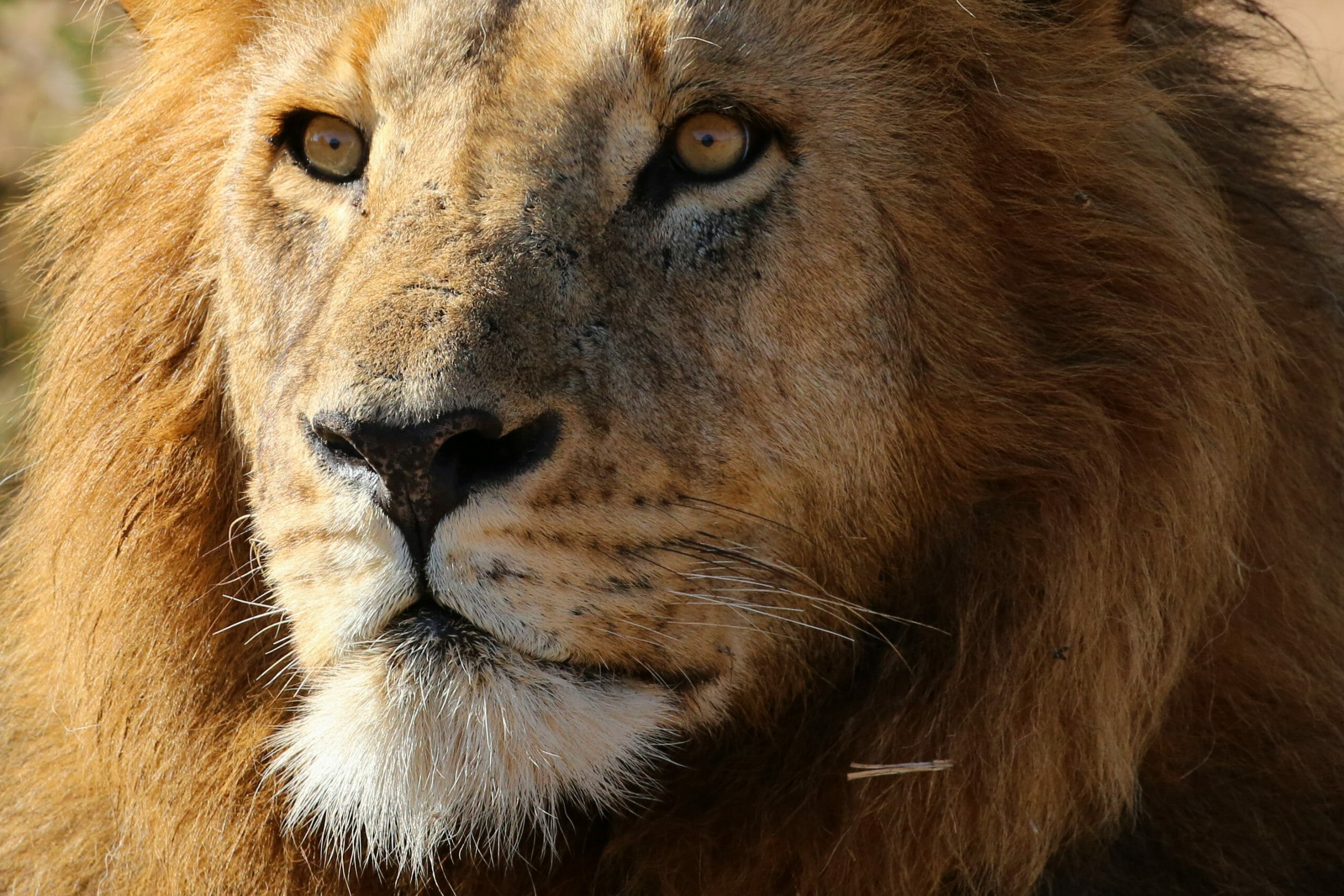 Close up of a male lion's face