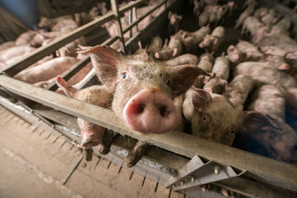 Pigs at a factory farm
