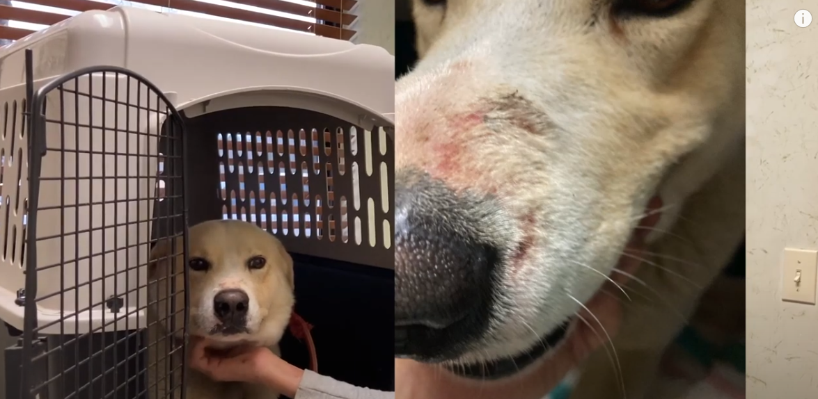 Rescued dog with scars from being chained
