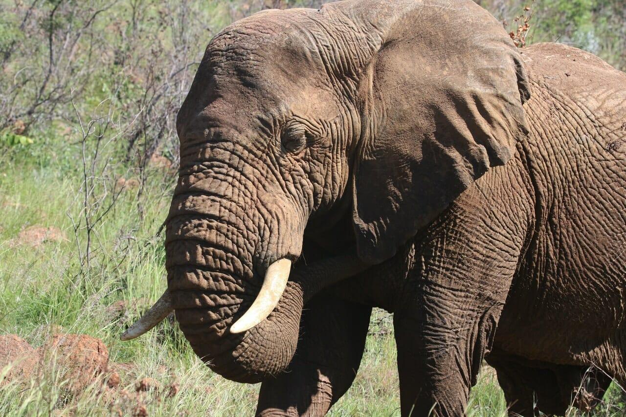 solo elephant