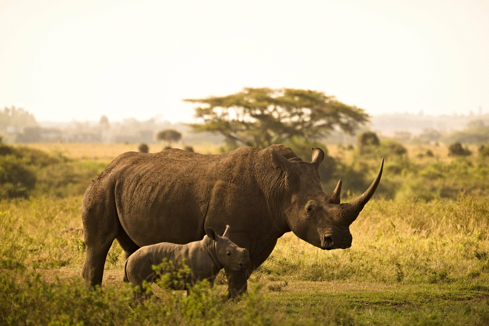 A rhino stands with her baby in Africa