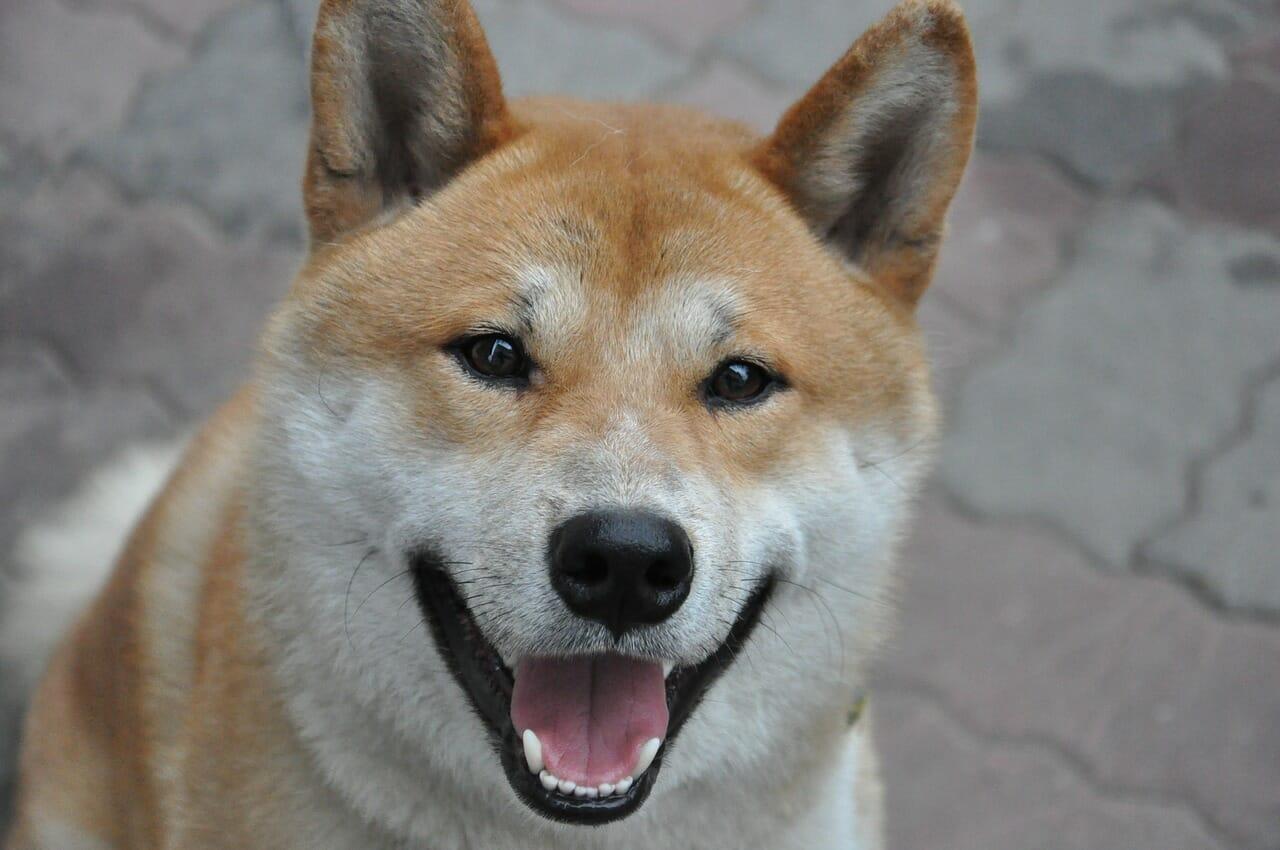 close up of shiba inu