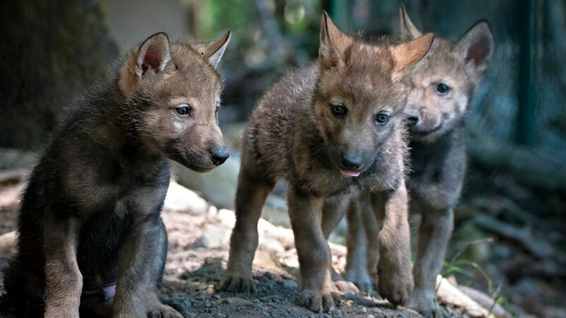 Gray Wolf Pups Spotted in Colorado for the First Time in Nearly 80 Years