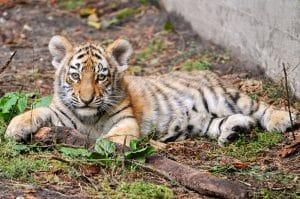 tiger cub in zoo