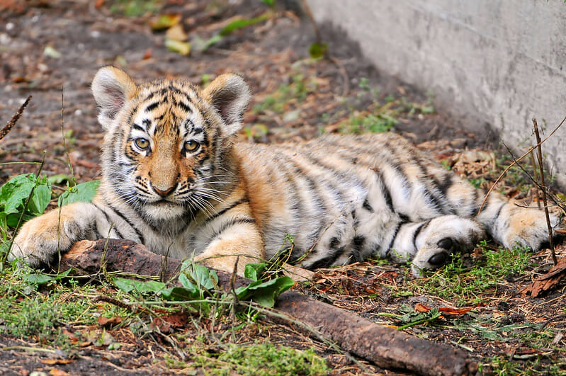 Nearly 70 Big Cats Rescued in Raid From 'Tiger King Park'