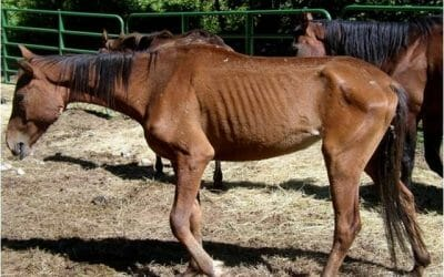 neglected horse with ribs showing