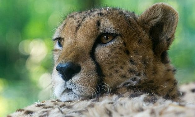 Cheetahs Will Return to India Over 50 Years After Going Extinct in the Country