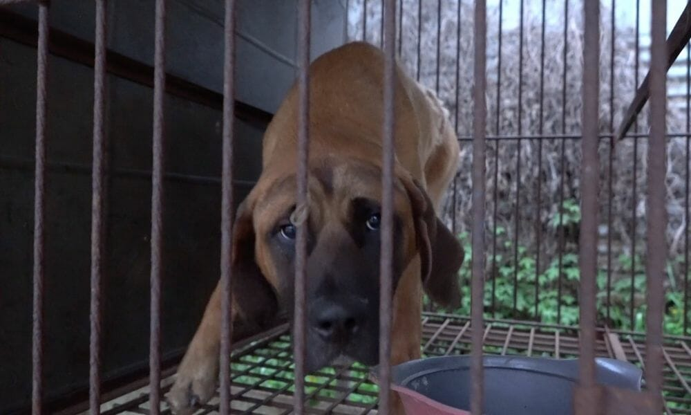 dog locked in cage at meat auction house