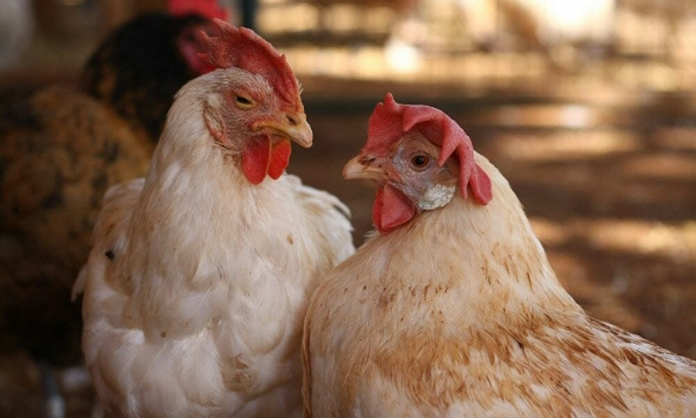Nevada Goes Cage-Free for Egg-Laying Hens, Joining 8 Other States