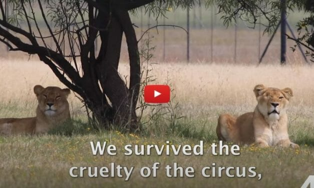 VIDEO: A Year in the Life of Rescued Lions and Tigers